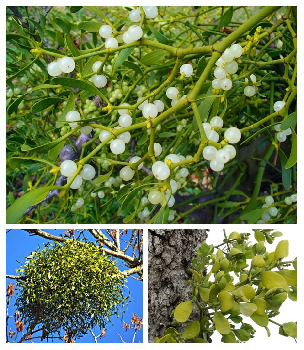 Collection of photos of the mistletoe parasite